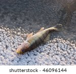 Walleye caught on jig lure is lying on ice in last rays of sunlight - stock photo