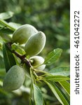 Small photo of Almond tree