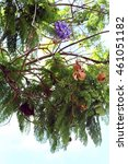 Small photo of Jacaranda mimosifolia branches with flowers and fruits in sky background