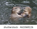 Playing Capybaras