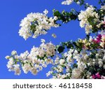 Bougainvillea Flowers White And ...