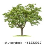Small photo of Isolated Ailanthus tree on a white background