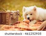 samoyed puppy eating peach on... | Shutterstock . vector #461252935