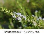 Flowers Of Rosemary
