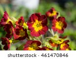 spring flower bed   primula... | Shutterstock . vector #461470846