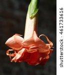 Brugmansia X Candida F. Plena ...