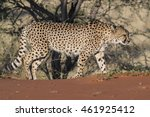 cheetah   acinonyx jubatus  | Shutterstock . vector #461925412