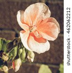 Small photo of Vintage faded Geranium flower of flowering plants aka as Cranesbills