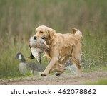Golden And Labrador Retrievers...