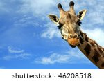 Stock photo portrait of a curious giraffe giraffa camelopardalis over blue sky with white clouds in wildlife 46208518