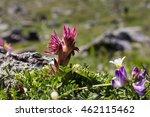 Alpine Flower Sempervivum...