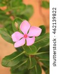 Small photo of pink vinca flower