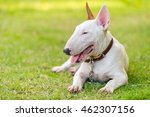 Bullterrier On Green Field