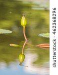 A Dragonfly On A Lotus Bud In ...