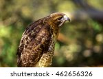 Small photo of American Peregrine Falcon