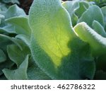 lambs ear ground cover close up | Shutterstock . vector #462786322