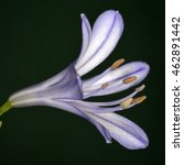 Small photo of Agapanthus africanus (African lily) is a flowering plant native to the area of Cape of Good Hope in South Africa