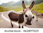 Stock photo funny donkey on transfagarasan road in romanian mountains 462897025