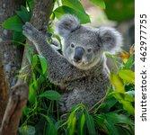 A Cute Of Koala.