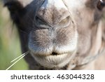 Mouth Of A Camel