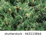 Small photo of yellow-green juniper or savin in the garden