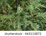 Chamaecyparis Cypress Or False...