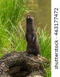Small photo of Adult American Mink (Neovison vison) Stands Up - captive animal