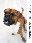 Small photo of young dog breed , german boxer sits on concrete and looking up, very funny face, dog, doggy, pawl, doggie