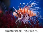 Lionfish  Pterois Mombasae