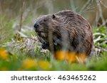 Wild European Beaver In The...