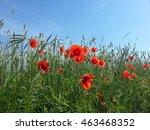 Beautiful Red Poppies Among...