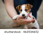 Stock photo cheerful puppy jack russell terrier playfully biting the fingers of its owner 463534652