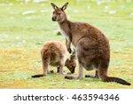 Kangaroos While Looking At You...