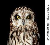 Short Eared Owl Portrait On...