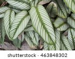 calathea majestica m.kenn. cu... | Shutterstock . vector #463848302