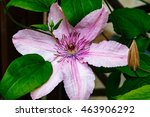 Flowers Of Clematis In Front O...