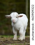 white goat kid standing on... | Shutterstock . vector #463909322