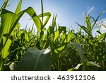 looking through corn field at... | Shutterstock . vector #463912106