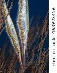Small photo of Spotted Shrimpfish Aeoliscus Punctulatus