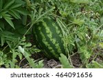 the growing water melon in the...   Shutterstock . vector #464091656