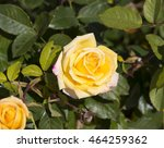 fragrant romantic beautiful... | Shutterstock . vector #464259362