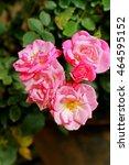 rose in the garden | Shutterstock . vector #464595152