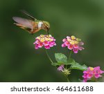 Female Scintillant Hummingbird...