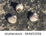 Three Sea Snails Monodonta...
