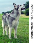 Small photo of wet fluffy, adult dog alaskan malamute standing on the field with a raised snout up portrait of a full-length in profile, sniffing the air with the wind, dog, doggy, pawl, doggie