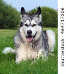 Small photo of wet fluffy, adult dog alaskan malamute lies in nature late afternoon, portrait in full growth , closeup, blue sky and trees in the background, looking eyes at the camera, dog, doggy, pawl, doggie