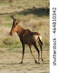Small photo of Red Hartebeest, Alcelaphus buselaphus, Kgalagadi Transfrontier Park, Kalahari desert, South Africa