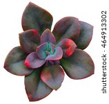 Red Succulent Rosette
