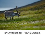 Svalbard Deer On The Meadow In...