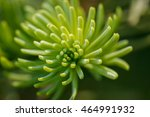Small photo of Closeup of the growing tip of a red fir (Abies magnifica) branch against a blurred background